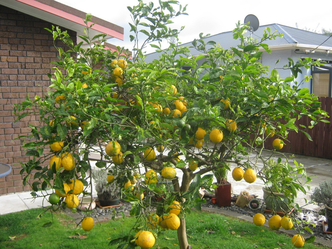 Where can i find lemon nimboo varieties for plantation for Buy a lemon tree plant