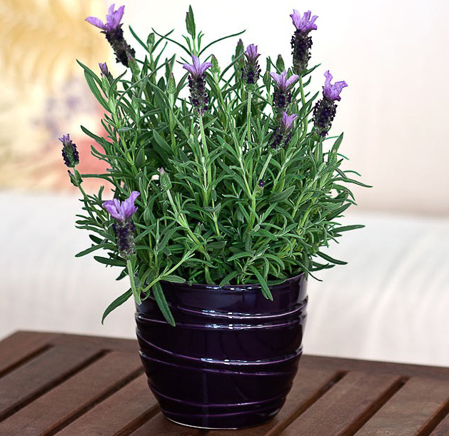 Learn To Grow Lavender Plant From Seeds Blog Nurserylive Com