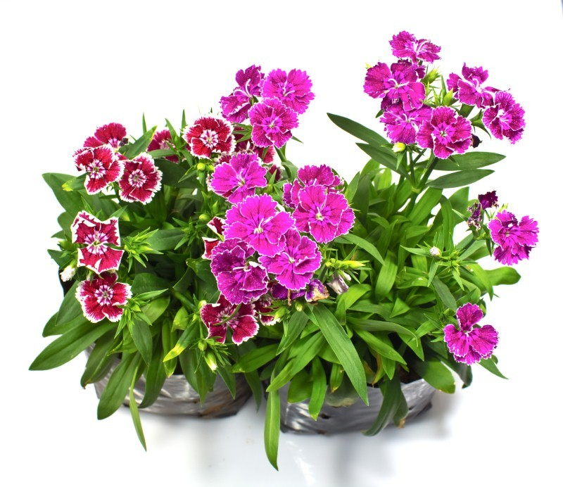 The Seeds Can Be Sown Directly Into Pots Or Flower Beds Have To Prepared Finely By Adding Compost At One Cm