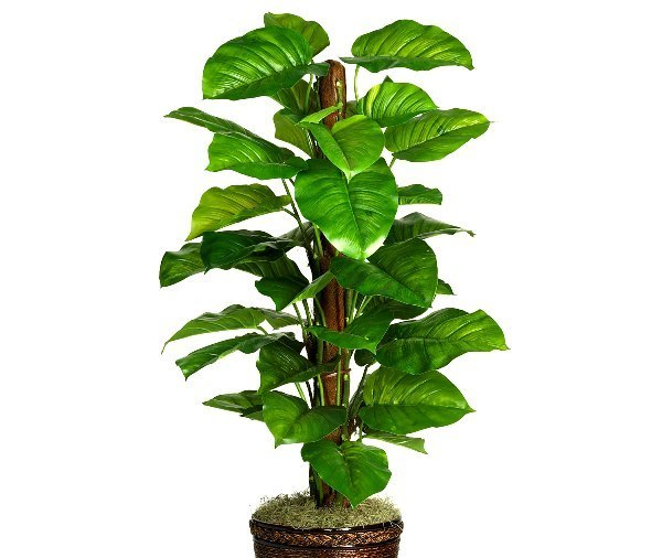 Philodendron house plants pictures