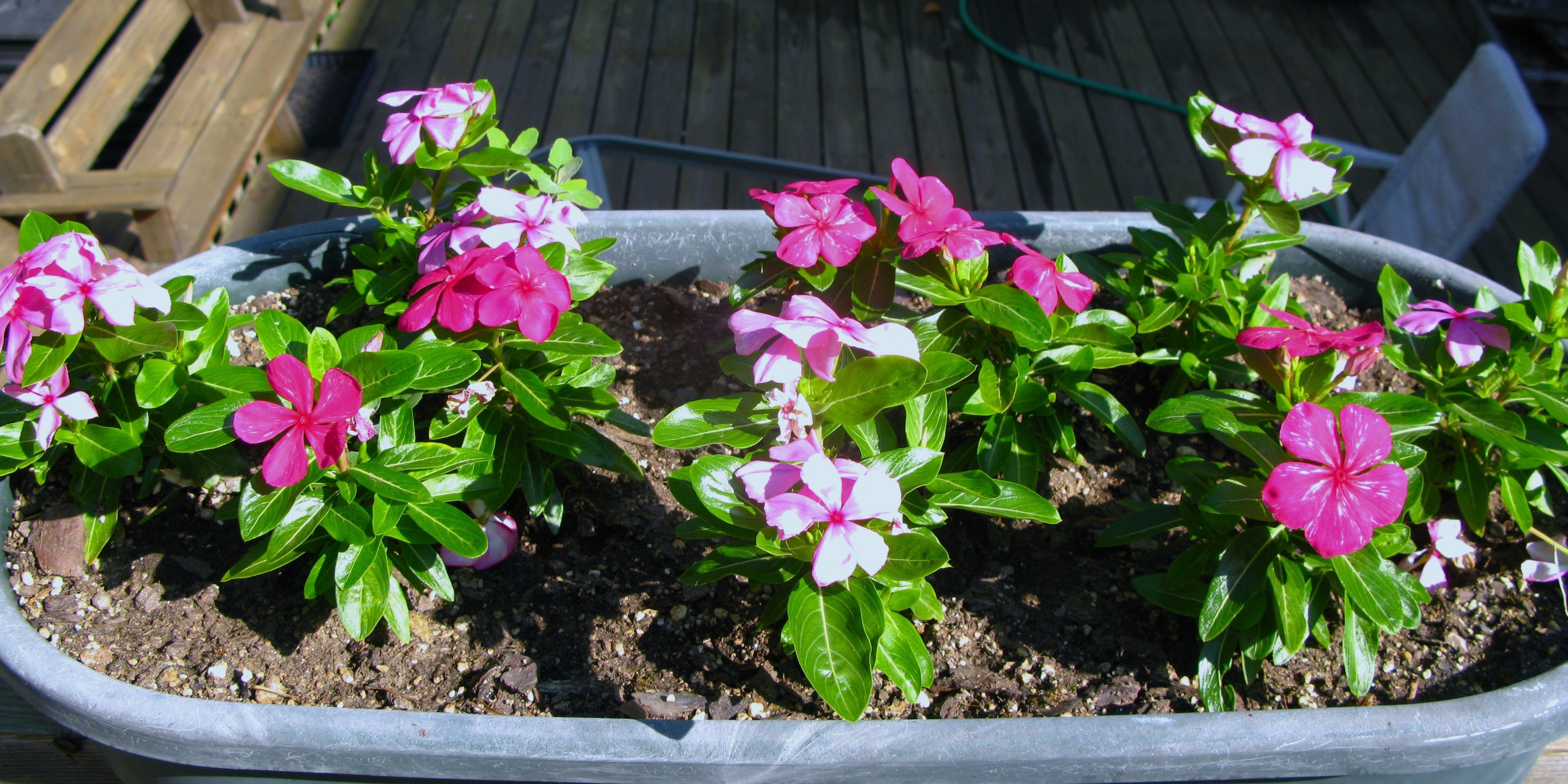How To Grow And Care Lovely Vincas Ask Nurserylive Ask Plant