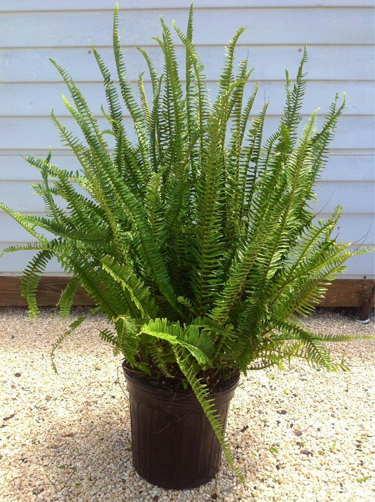 Grow and the care the lovely Boston fern BlogNurserylivecom